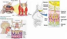 Gambar Anatomi Fisiologi Faring Esofagus 6 Gambar Antomi