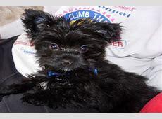 Pin on Cute Yorkies Terrier Daily