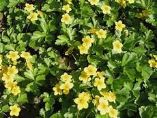 bodendecker gelb winterhart file waldsteinia ternata 02 jpg