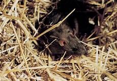 ratten bekaempfen und aus dem haus ratten im garten oder haus ratgeber wildtiere