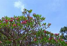 Bibit Collagen Untuk Pria fakta ilmiah kenapa pohon kamboja banyak ditanam di tanah