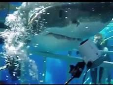 gabbia squali squalo bianco sfonda una gabbia con dentro un sub