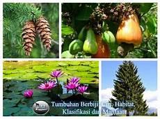 Tumbuhan Berbiji Ciri Habitat Klasifikasi Dan Manfaat