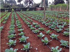 Drip irrigation enables farmers to cultivate more with a