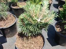 arbustes nains pour rocaille pinus mugo humpy pin des montagnes conif 232 re nain
