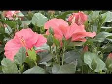 hibiscus entretien l hibiscus d int 233 rieur vari 233 t 233 s plantation et entretien