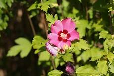 hibiskus hecke anlegen und pflege im sommer winter