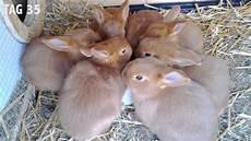 kaninchen nachwuchs update 3 2013 rote neuseel 228 nder