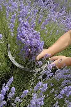 Lavendel Das Mediterrane Heilkraut Aus Dem Eigenen Garten