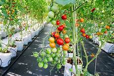 follow these simple steps to grow tomatoes indoors every