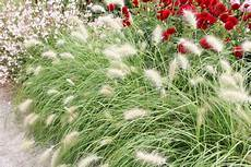 wann gräser schneiden lenputzergras standort pflege und schneiden