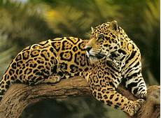 le jaguar a something about animals jaguar or leopard whats