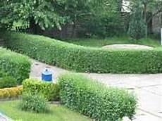 lebender zaun immergrün garten hecken immergr 252 ne pflanzen hecke schneiden