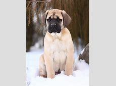 Mastiff   Hund   Wesen, Erziehung und Eigenschaften