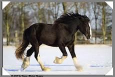 Ausmalbilder Pferde Shire Shire Im Schnee Foto Bild Tiere Haustiere