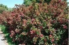 weigela florida bristol ruby landscape architect s pages