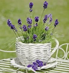 lavendel im topf überwintern richtige lavendel pflege