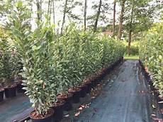 arbre a pousse rapide arbuste de haie persistant pousse rapide bordeaux