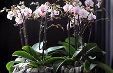 wie pflegt orchideen orchideen pflegen ratgeber und pflegetipps obi