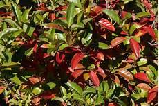 strauch rote blätter gummibaum bekommt rote bl 228 tter 187 woran kann s liegen