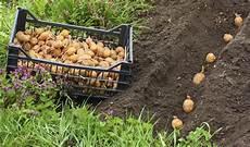 kartoffel pflanzen kartoffeln pflanzen 187 wann ist der