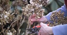 hortensien richtig schneiden garten hortensien garten