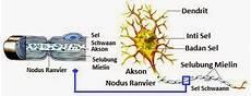 Struktur Bagian Bagian Sel Saraf Neuron Dan Fungsinya