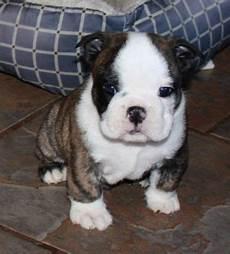 bulldog anglais a vendre chiots bulldog anglais a vendre