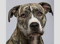 dylan looked alot like this brindle pitbull. best dog ever