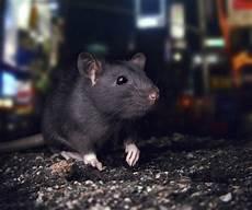 ratten fangen tipps 24 000 beschwerden new york und die ratten usatipps de