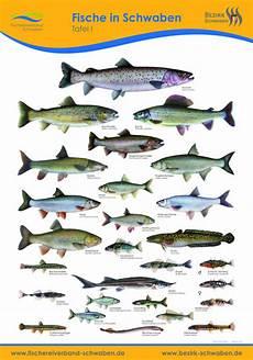 fischarten liste mit bildern so sehen einheimische fische aus anschauliche fischtafeln
