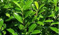 immer grüner strauch kirschlorbeer pflanzen groupon goods