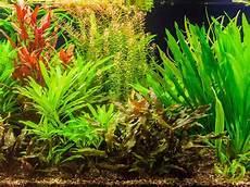 Welche Pflanze Produziert Am Meisten Sauerstoff - pflanzen im aquarium dehner