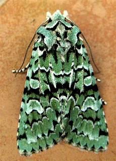 merveille du jour last in the garden the magic of moths