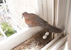 pigeon nest and eggs stock photo image of bird metaphor