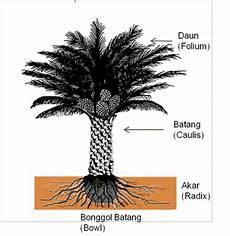 Aspek Botani Dan Morfologi Kelapa Sawit Budidaya Kelapa