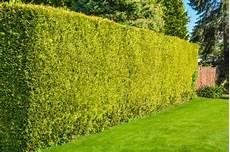 Hohe Sichtschutz Pflanzen - hoher sichtschutz 187 so sch 252 tzen sie sich vor blicken