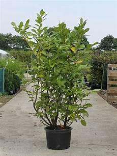 Buy Cherry Laurel Prunus Laurocerasus Rotundifolia