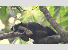 Black Giant Squirrel (Ratufa bicolor)   YouTube