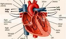 Jantung Pengertian Contoh Gambar Fungsi Struktur Bagian