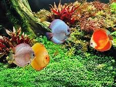 Tips Merawat Ikan Discus Dalam Akuarium Akuarium Ikan Hias
