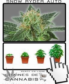 terre pour faire pousser cannabis graines de cannabis 224 autofloraison snow