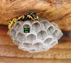 petit nid de guepe biologie des gu 234 pes et conseils pratiques