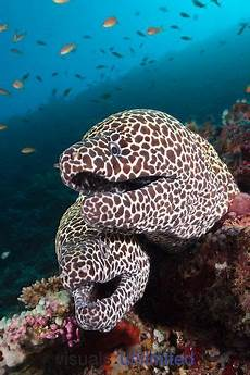 Unterwasser Tiere Malvorlagen Xing Leopard Moray Eel Ozean Kreaturen Tiere Und Unterwasser