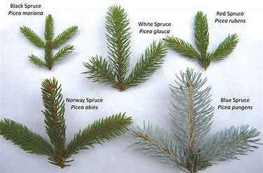 Image result for difference between black and white spruce
