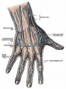 these are the veins of the all veins go to the heart sending back to it after