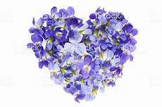 fiore con a of violet flowers on white background stock photo