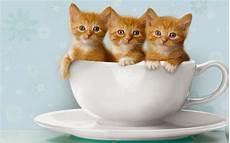 10 Gambar Kucing Lucu Wallpaper Iphone Dan Android
