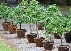 arbre fruitier en pot comment installer les petits arbres fruitiers au jardin ou