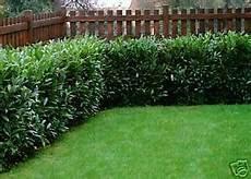 Kirschlorbeer Pflanze Hecke Prunus 120 200 Cm Ebay